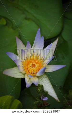 One unusual white water lily flower with bluish-tipped petals and a yellow center viewed from above in a lily pond, green lily pads floating behind it.