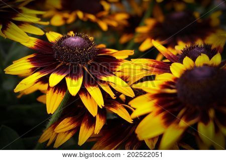 Close up of vivid yellow and red daisies, Rudbeckia gloriosa, a dazzling flower with a raised conical center.