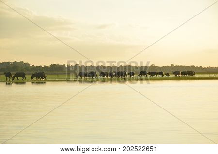 buffalo swimming in a river.water buffalo are swimming in the pond.