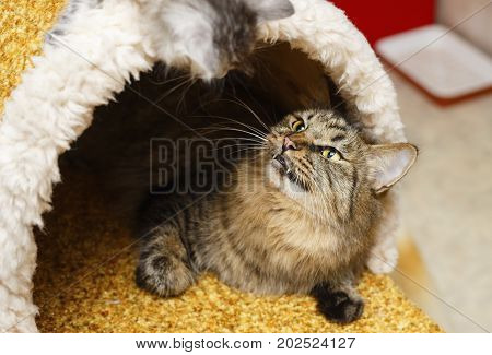 Cute fluffy cat lies in the cat house. Pets. Hypoallergenic breed of cats