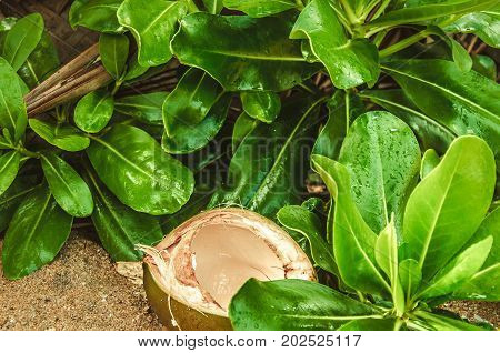 An opened coconut between green leaves, An opened coconut between green leaves