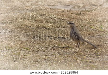 chalk-browed - Mimus saturninus. Bird from Serra da Canastra, MG, Brazil