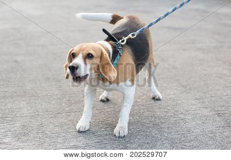 beagle dog with leash is barking on street