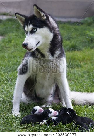 Husky mother feeding puppies. A close up