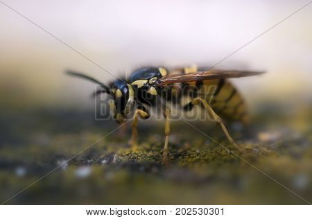 wasp macro with wide open mandibles. A close up