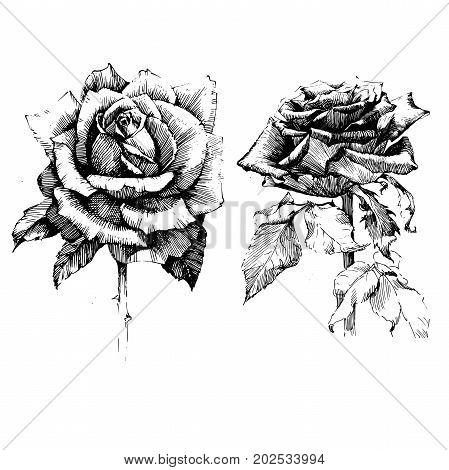 Rose Ink drawing flower vector illustration and line art. Floral illustration.