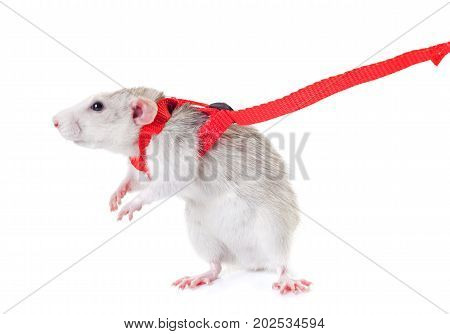 rat and harness in front of white background