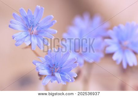 Blue flowers of chicory on a gentle background. soft selective focus.