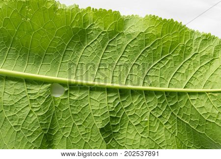 Horseradish Leaves Green Background