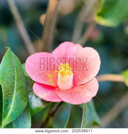 Red Spring Flowers Azalea