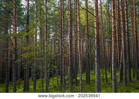 Panorama Pines high mystical. The mystical nature of the wild forest. The landscape of Northern coniferous trees with long trunks.