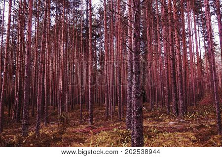 Panorama Pines mystical of evening. The mystical nature of the wild forest. The landscape of Northern coniferous trees with long trunks.