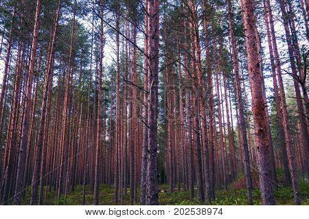 Pines mystical of evening. The mystical nature of the wild forest. The landscape of Northern coniferous trees with long trunks.