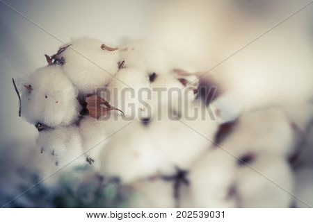 Color image of some cotton buds on a dried branch.