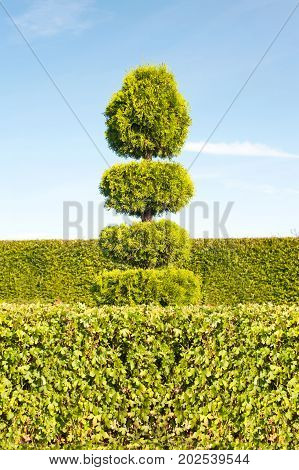 One topiary green tree with hedge on background in ornamental garden. Vibrant summertime outdoors vertical image.