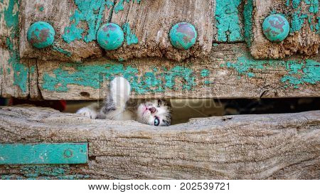Front view of kitty escaping through old wooden door hole