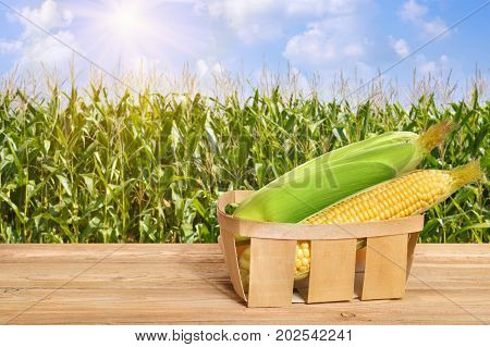 fresh corn cobs in basket on wooden table. Agriculture and harvest concept. Maize with sunshine maize field