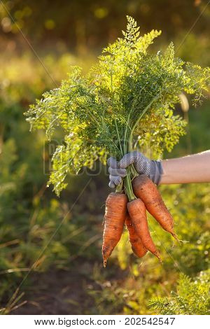 Bunch of carrots in hand with blurred natural background. Fresh harvested carrots from the garden. Just picked carrot. Gardening, agriculture, autumn harvest concept