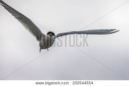 Arctic tern, Sterna Paradisaea, flying in the air with white clouds in the background. The bird are nesting in this area, and attacks when people get too close.