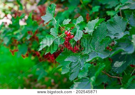 guelder rose is growing under sun light in a garden