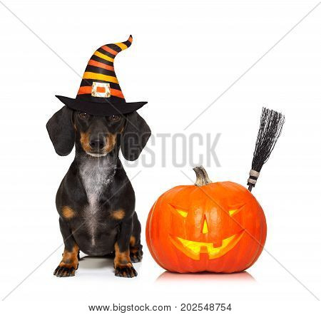 halloween devil sausage dachshund dog scared and frightened isolated on white background pumpkin to the side wearing a witch hat