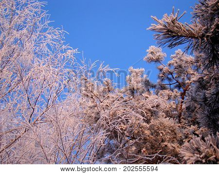 snowy tree crowns in the frost in the pink light of the winter sunset