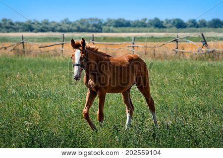 Red foal in a meadow. Horse graze on pasture. Farm animal. Summertime