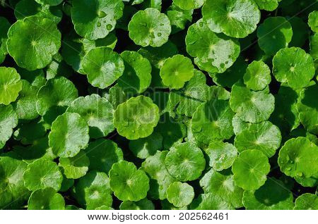 close up green leaf Asiatic background in nature