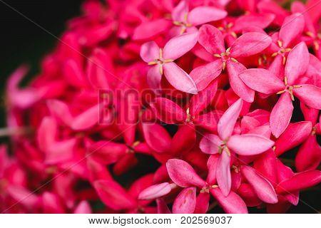 Pink flower spike Rubiaceae Ixora coccinea Background