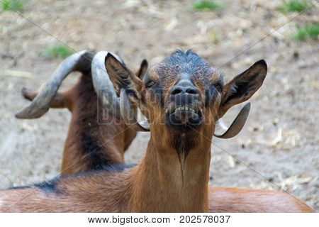 Domestic goats farm animal close up adult goats