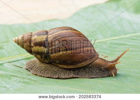 snail crawling on green banana leaves close up