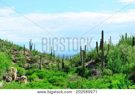 Saguaro cactus landscape. Saguaro National Park in Arizona.