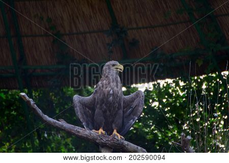 The white-tailed eagle keeps wings spread to cool it self