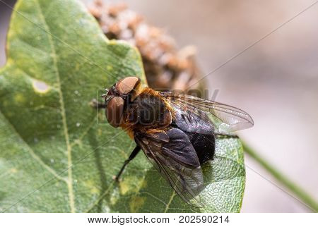 Parasitic Tachina fly Phasia hemiptera in Mandal, Norway, in the summer, july