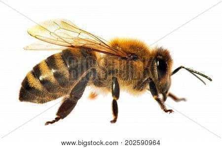 detail of bee or honeybee in Latin Apis Mellifera european or western honey bee isolated on the white background