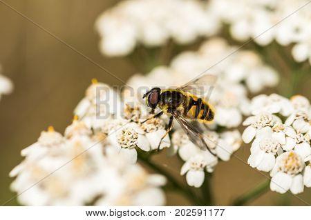 Myathropa florea hoverfly on Common Yarrow, Achillea millefolium