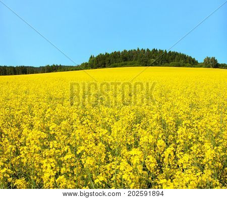golden field of flowering rapeseed canola or colza brassica napus plant for green energy and oil industry