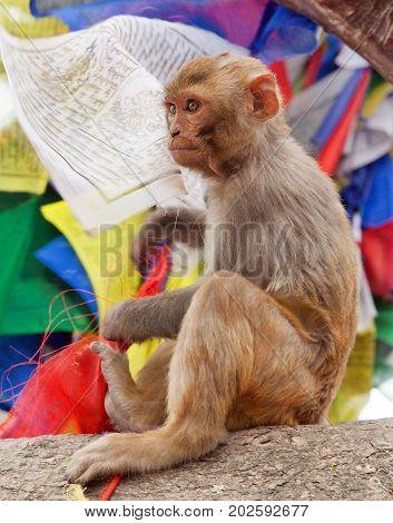 monkey with prayer flags near swayambhunath stupa Nepal