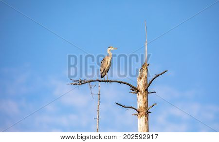 Grey Heron, Ardea cinerea, sitting on a dead tree with blue sky and white clouds as background, in Birkenes in Norway