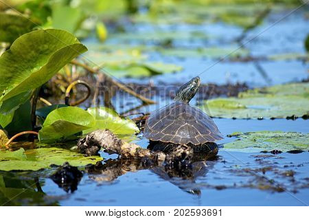 Close up of painted turtles on Point Pelee conservation area, a national park on southwestern Ontario.