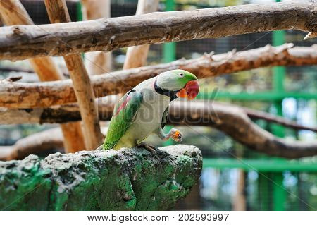 Portrait of a light green parrot with a red beak. The bird eats carrots.