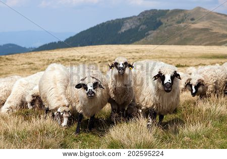 herd of sheep ovis aries sheep is typical farm animal on mountains