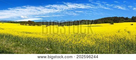 Field of rapeseed canola or colza in Latin Brassica Napus with beautiful cloud rape seed is plant for green energy and green industry springtime golden flowering field panoramic view