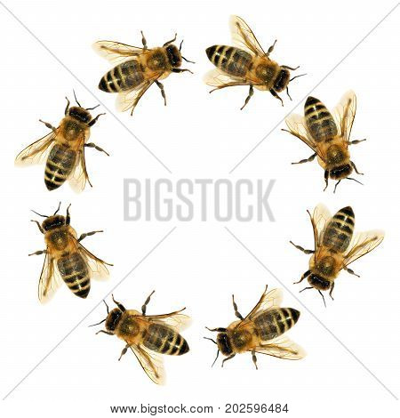 group of bee or honeybee in the circle in Latin Apis Mellifera european or western honey bee isolated on the white background