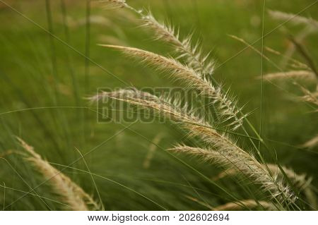 Flowering grass with blurry background mission grass feather pennisetum