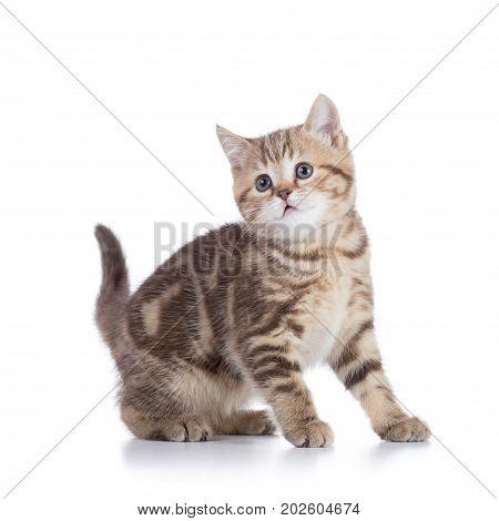 Cute scottish shorthair kitten cat isolated on white
