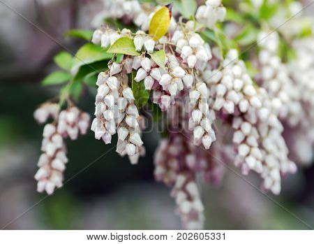 Bearberry flowers or Arctostaphylos uva-ursi is a plant species of the genus Arctostaphylos manzanita.The name `bearberry` for the plant derives from the edible fruit which is a favorite food of bears.