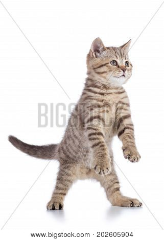 gray cat kitten breed scottish straight playing over white background