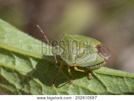 Mature Eurasian Green shield bug, Palomena prasina, sitting on a green leaf, high angle view, back shield visible