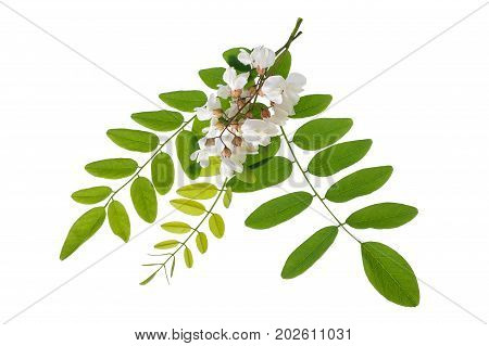 black locust Branch with flowers isolated on white background